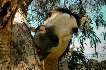 White horse grimace