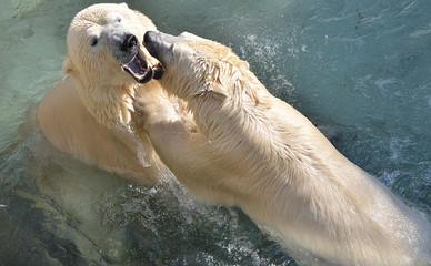 Белые медведи играют.