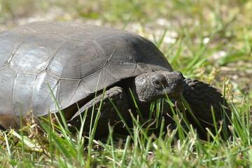 Florida Gopher Turtle