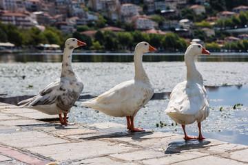 White swans in the Orestias lake of the Kastoria city. Greece