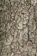 Kastanienrinde eines Kastanienbaum im Frühling