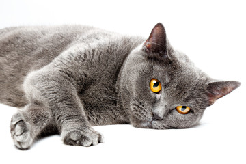 Portrait of a lying British shorthair cat, on white background