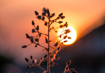 grass flowers with sunset background,select focus.