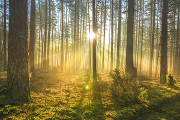 Bright sun rays through trees in green spring forest. Landscape of forest in early morning. Natural nature. Scenery woodland with sunshine. View on green forest in backlight.