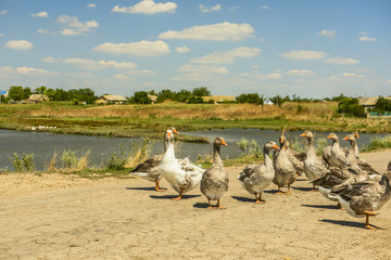 A flock of domestic geese by the pond in the countryside.