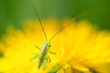 Springtime. Macro shot of a a green grasshopper awakening in the early morning on a yellow dandelion.