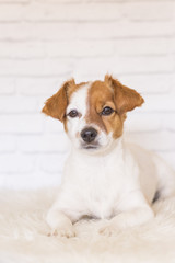 portrait of a beautiful small dog lying on a white blanket and looking at the camera. White bricks background. Cute dog. Pets indoors. LIfestyle