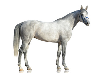 The gray purebred Arabian horse stand isolated  on white background. side view