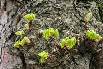Nahaufnahme von blühenden Blätter an Kastanienbaum im Frühling