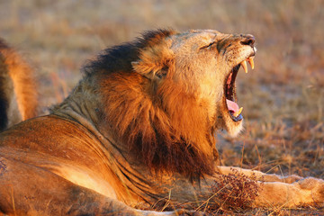 The Transvaal lion (Panthera leo krugeri), also known as the Southeast African lion or Kalahari lion, yawning adult male.