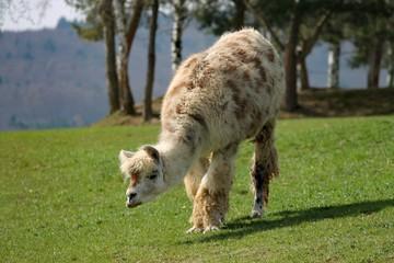 Lama grast auf einer Weide