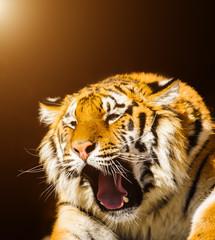 siberian tiger on on stones