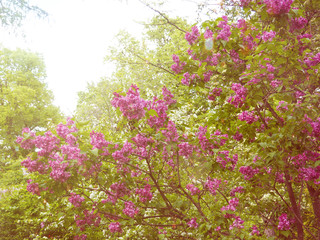 Spring branch of blossoming lilac, Blooming lilac flowers lit by sunlight. Selective focus at the central flowers