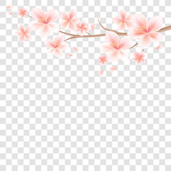 Branch of Sakura with Pink flowers and flying petals isolated on transparent background.  Apple-tree flowers. Cherry blossom. Vector