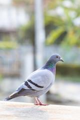 full body of homing pigeon bird