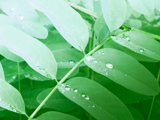Green leaves of acacia on a branch after a rain with drops of water.
