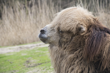 Bactrian Camel. Geographic Range: Its population of two million exists mainly in the domesticated form