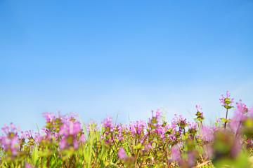 青空を背景に咲くホトケノザ