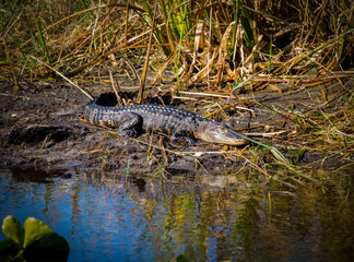 Teenage Alligator In The Mud