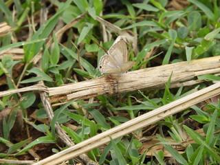 Pseudothecla Nabokov butterfly