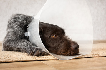 dog with plastic elizabethan collar