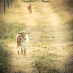 Brown and white goat in field at local farm in Washington, USA