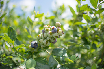 Fresh blueberrys on the branch on a blueberry field farm green and ripe