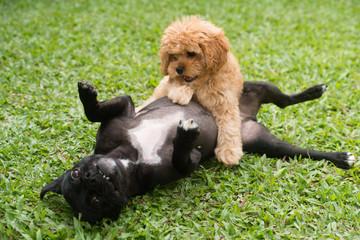 子犬たちの遊び