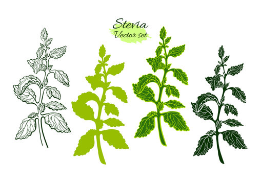 Art set of stevia. Vector organic food