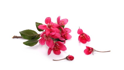 Wild apple flowers blooming with branch isolated on white background