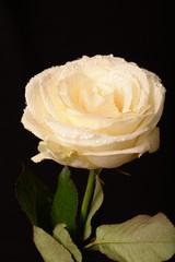 Kremowa róża w krpolach