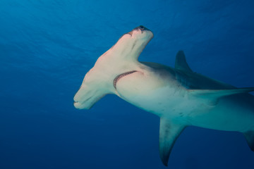 Great hammerhead shark Bahamas Bimini