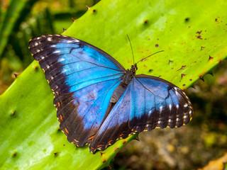 Blue Morpho Butterfly, Morpho peleides, sitting on a green leave.