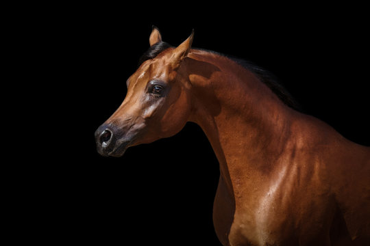 Portrait of a bay arabian horse on black background isolated