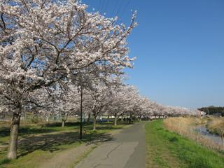 柏市を流れる大堀川の桜並木