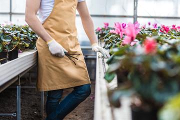 Close-up view of male gardener planting Cyclamen flowers in nursery