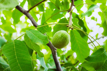 Green walnuts, fresh and naturally grown on tree branch with green leaves close-up