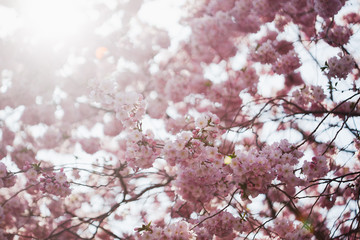 Cherry blossoms in spring, back lit from sun with flares