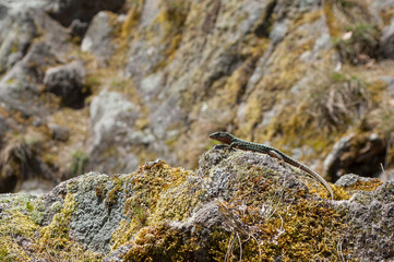 Closeup of little lizard on rock by sunny day