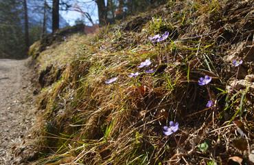 Wanderweg in den Alpen mit Frühjahrsblumen