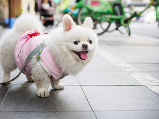 Little fluffy white pomeranian dog in a cute sweater with chains on the road, it has two cute rabbit like ears and smiling at camera.