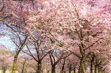 Wall Mural - Frühlingserwachen, Glück, Freude, Sonne un Wärme genießen, Optimismus, Glückwunsch, alles Liebe: zarte, duftende japanische Kirschblüten vor blauem Frühlingshimmel :)
