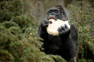 "Gorilla ""Fatou"" eats a birthday cake at the Berlin Zoo"