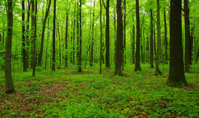 Wall Murals Green Forest trees in spring
