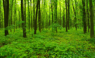 Papiers peints Forets green forest in spring
