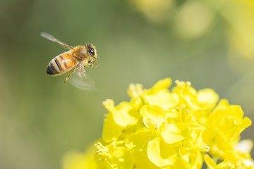Honey bee flying around canola flower