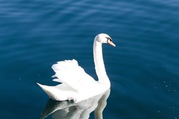 Lake swan portrait