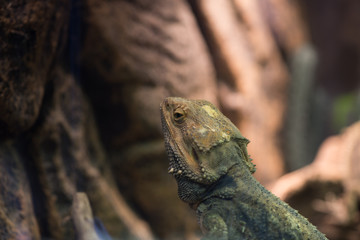 Bearded dragon on tree background, defocused. Wild life and reptiles