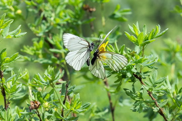 Two white butterfly cabbages sit on a bush, before mating, during the mating season.