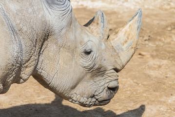 Rhinoceros, head covered with dried mud